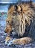 Löwen 1