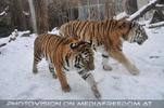 Tiger im Gleichschritt