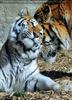 Sibirische Tiger 16