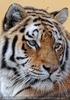 Sibirischer Tiger 02