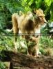 Löwin mit ihrem Baby