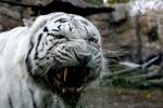 Weißer Tiger Zähne
