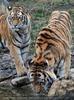 Tiger in der Dämmerung