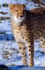 Gepard 3