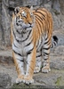 Sibirische Tiger 06