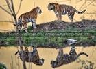 Sibirische Tiger 12