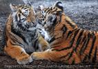 Sibirische Tiger 13