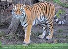 Sibirische Tiger 15
