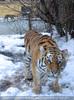 Sibirische Tiger 17