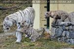 Die weissen Tiger Vierlinge 33