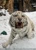 Kinderstube der weißen Tiger Drillinge 02
