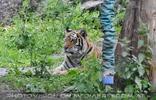 Auf der Tiger Lauer