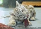 Weißer Tiger Nachwuchs 17