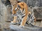 Sibirische Tiger 03