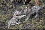 Die weissen Tiger Vierlinge 44