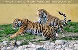 Fang den Tiger