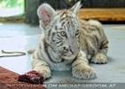 Weißer Tiger Nachwuchs 18
