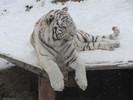 Tiger im Schnee 2