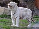 Weisser Tiger schnuppert