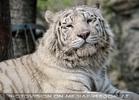Weiße Tiger 01