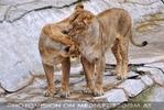Afrikanische Löwen 08