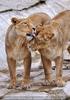 Afrikanische Löwen 09