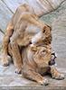 Afrikanische Löwen 12