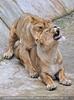 Afrikanische Löwen 13