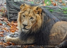 Afrikanische Löwen 3