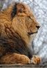 Afrikanische Löwen 4
