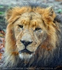 Afrikanische Löwen 5
