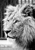 Afrikanische Löwen 6