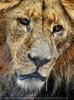 Afrikanische Löwen 7