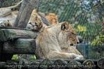 Afrikanische Löwen 8