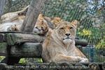 Afrikanische Löwen 9