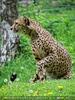 Aufgeschreckter Gepard