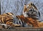 Aufmerksamer Tiger