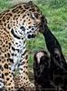 Ausgelassene Jaguare