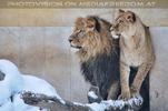 Ausschau der Löwen
