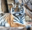Beauty Tiger