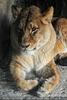 Bei den Löwen 3