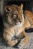 Bei den Löwen 4