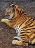 Beim sibirischen Tiger 3