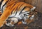 Beim Tiger 2