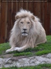 Prächtiger Löwe