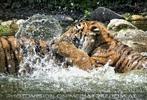 Sibirische Tiger im Wasser 02