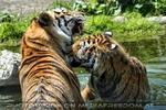 Sibirische Tiger im Wasser 03