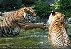 Sibirische Tiger im Wasser 06