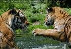 Sibirische Tiger im Wasser 09