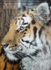 Sibirische Tiger am Abend 01